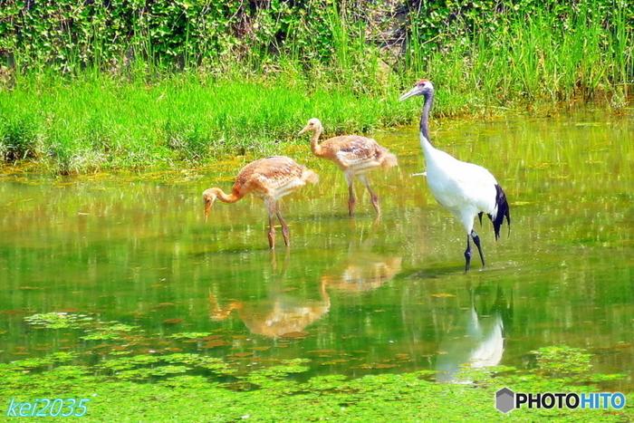 """のどやかな田園風景は吉備路を象徴する景色。水田が美しいのは6月中旬から下旬。朝夕が特に素晴らしい。稲穂が黄金に輝くのは10月後半から11月半ば頃。こんなに可愛らしい""""タンチョウの親子""""に出会えるかも…"""