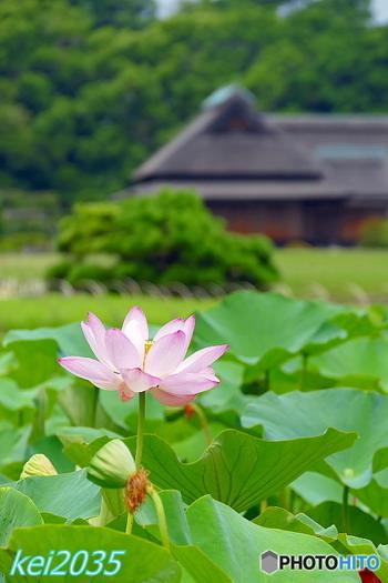 穏やかな風土の下、太古の昔から人々が暮らしを営んできた岡山。  温暖な気候と恵まれた自然環境は、山海の恵みをもたらすだけでなく、人々に豊かな文化をもたらしました。日本最古の藩校が県内に残るように、ここ岡山は教育、人材育成も他の地域よりも進んでいた地です。  古き好き伝統を重んじながらも、革新的。小堀遠州の庭や、吹屋のベンガラ、古民家カフェの設えや、地産食材の料理が語るように、岡山は、いつの時代も新しい技術やデザインを取り込み、さらなる美や価値を積極的に生み出しています。そして、その歩みは今も留まることを知りません。。  ぜひ記事を参考に、岡山を訪れて下さい。きっと、岡山の素晴らしい伝統と革新の軌跡と出会えるはずです。  【画像は、岡山後楽園の「大賀ハス」。】