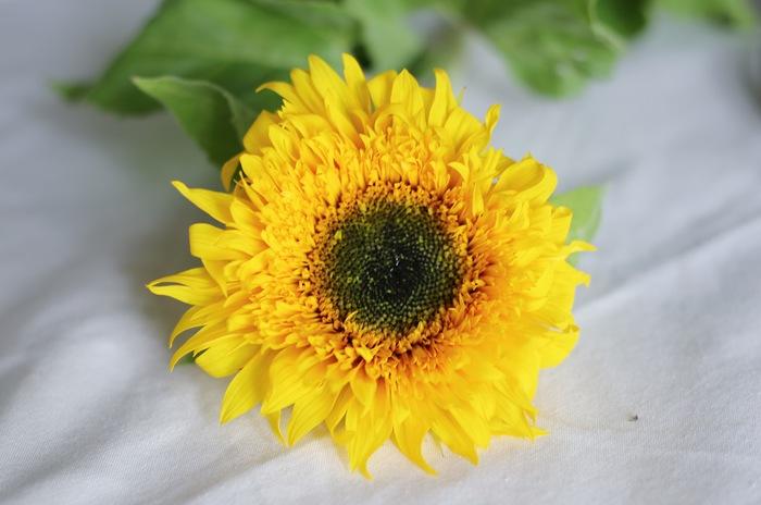 良質なヒマワリの特徴、それはこの顔の中心部分の「筒状花(とうじょうか)」と呼ばれる黒っぽい部分を見れば分かります。この筒状花の部分が、顔の中で占める割合が少なければ少ないほど新鮮なんだそうですよ。