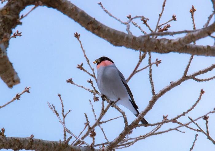 そんな大人気の「鷽替え神事」の「鷽(うそ)」ですが、日本海沿岸に生息するスズメ科の美しい小鳥で、昔から幸運を招く鳥と言われています。