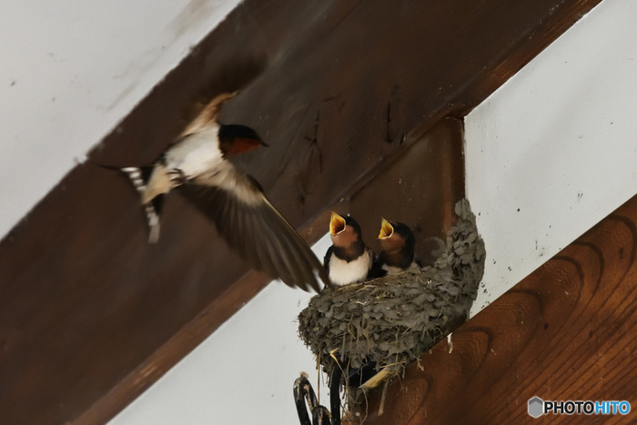 春から夏にかけて日本に飛来するのがツバメ。人家の軒先などで巣を作って子育てをするため、街で見かける機会も多い鳥です。日本では稲を食べずに害虫を食べてくれる益鳥とされ、ツバメが軒先に巣をかけるのは吉兆だという言い伝えもあるほど、古くから人々に愛されています。