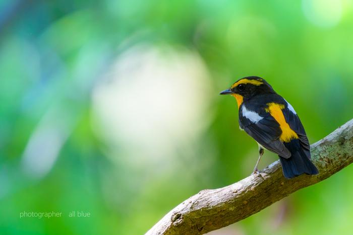 黒い背に黄色い模様が特徴のキビタキ。名前からもおわかりの通り、上で紹介した「ジョウビタキ」「ルリビタキ」などと共通する「ヒタキ」の仲間です。慣れると鳴き声で聞き分けができるそうですよ。