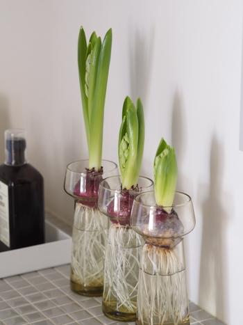 「ひよりごと」のブロガー・ひよりさん宅で、ヒヤシンス専用のポットを使用した例。根がまっすぐに下方に伸びています。
