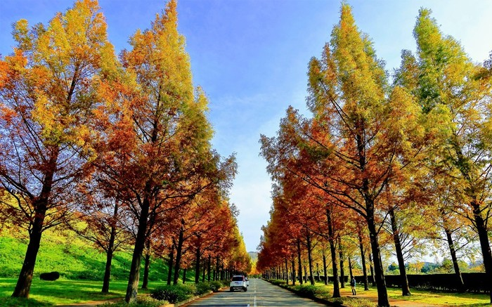 秋、まっすぐ伸びたメタセコイア並木が色づく様子は壮観です。