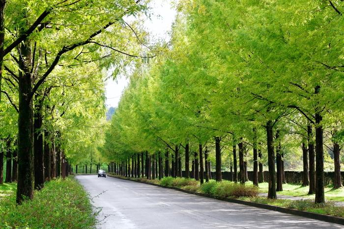 金沢駅から車で30分ほどの場所にある閑静なニュータウン「太陽丘」には、1キロ以上にも渡ってメタセコイアの並木道が続いています。