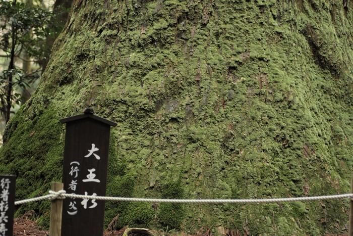 中でも「大王杉」と名付けられた巨木は幹周約83メートル、高さ約55メートル、推定樹齢600年で圧倒的な存在感を放ち、森の巨人たち百選に選ばれています。