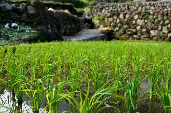 高低差160メートルの急勾配の地に、400枚の棚田がある竹の棚田は、400年前の江戸時代初期に造られた棚田です。山間部のわずかな谷間の土地を利用した江戸時代の農民たちの知恵の結晶でもある竹の棚田は、その美しさや保存状態が優れていることなどから日本の棚田百選にも選定されています。