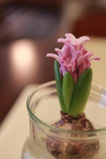 花色がピンクなら、球根もうっすらとピンク。