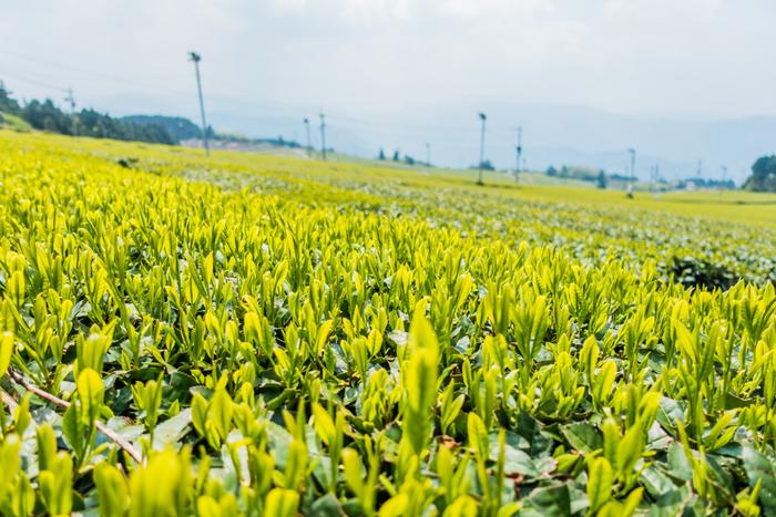 星野村は、日本茶を代表する日本茶ブランドの一つ、八女茶の産地でもあります。村内の至るところで茶畑が広がっており、牧歌的な雰囲気を漂わせています。