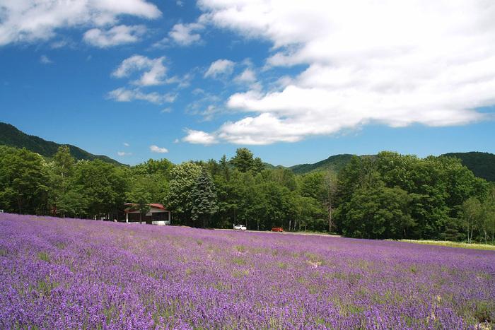 北海道富良野市にある「ハイランドふらの」のラベンダーの森。ここでは一面に広がる「ラベンダーのうみ」と「遊歩道」を楽しむことができます。