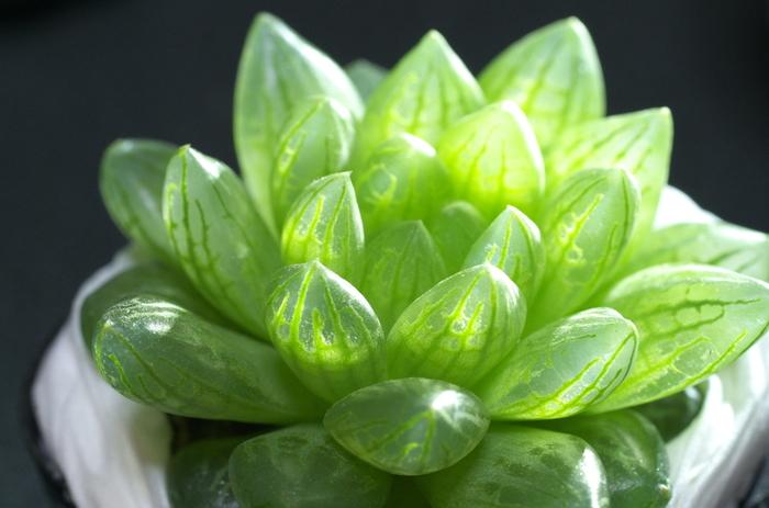 ロゼット状の葉が美しい「ハオルチア」です。近年アジア圏で人気が上昇していますが、ハオルチアは多肉の中でも特に成長に時間がかかるため、中には高額で取引されているものも。