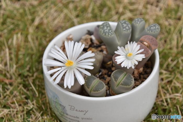 リトープスの育成期である冬の時期は、土の表面が乾いてきたら水やりをします。蒸し暑くなってきたら回数を減らし、夏は月に一回ほど涼しい夜にさっと水をかけるか、断水します。  10月〜1月にかけて、外見からは想像できないような、大きな菊のような花を咲かせます。サボテンの開花時に少し似ていますね。