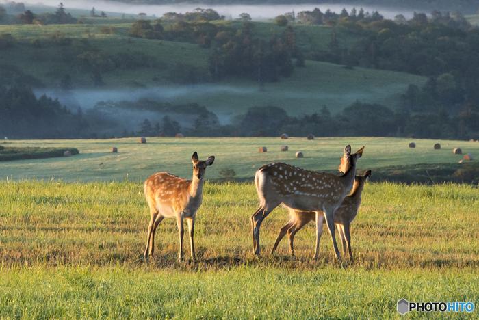 宗谷丘陵で暮らすキュートなエゾシカたち。エゾシカは北海道に生息する日本鹿の一種、このあたりには野生のエゾシカがたくさん自生しています。これから迎える冬に向けて、脂肪を蓄えていく時期です。