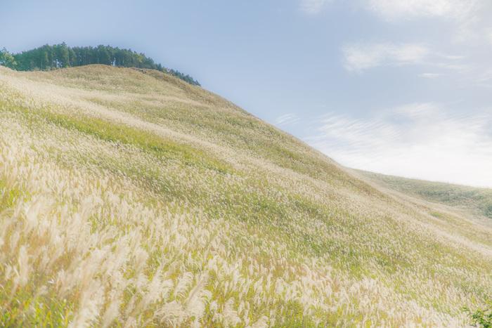 「曽爾高原(そにこうげん)」は、奈良県の曽爾村にある高原。一面に広がった美しいススキを楽しめる人気スポットです。