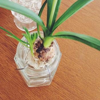こちらの球根はムスカリですが、球根が瓶の底に沈まないようにするために有効なアイディアです。