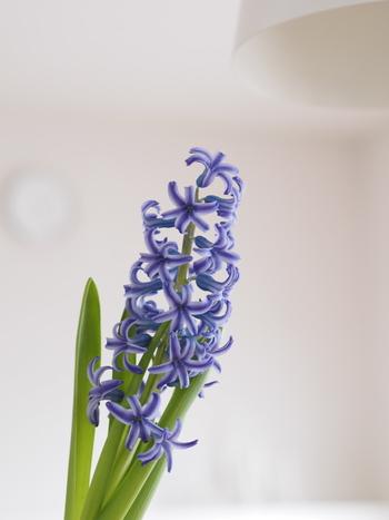 根にストレスがかからないと、茎もまっすぐに育ち、花付きもよくなります。  反対に、グラスの中で根がぐるぐる巻きになってしまうと、茎は曲がり気味になり、花つきはイマイチに。そんな様子を好む方もいますが(^.^)