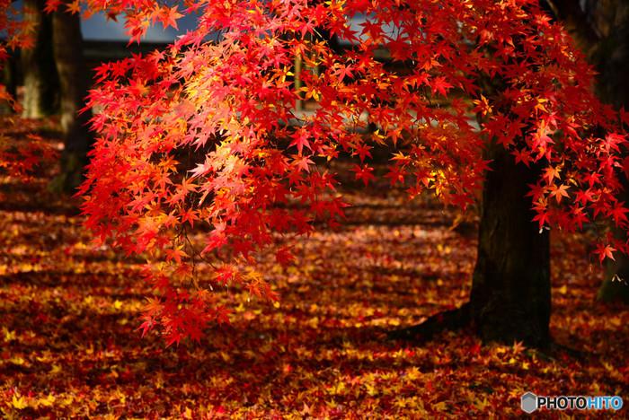 広い境内には、落葉したモミジが無数に散らばっています。散紅葉に覆われた境内を散策していると、まるで紅い絨毯の上を歩いているような気分を覚えます。
