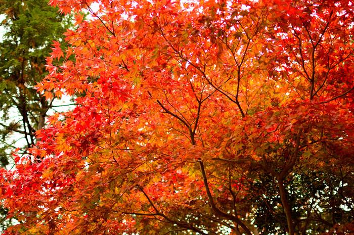 伏見稲荷大社は、「紅葉の永観堂」のようにいわゆる「紅葉の名所」として取り上げられることはあまり多くありません。しかし、稲荷山全体が神域となっている伏見稲荷大社では、モミジだけでなく、楓、桜といった様々な落葉樹が美しく彩ります。