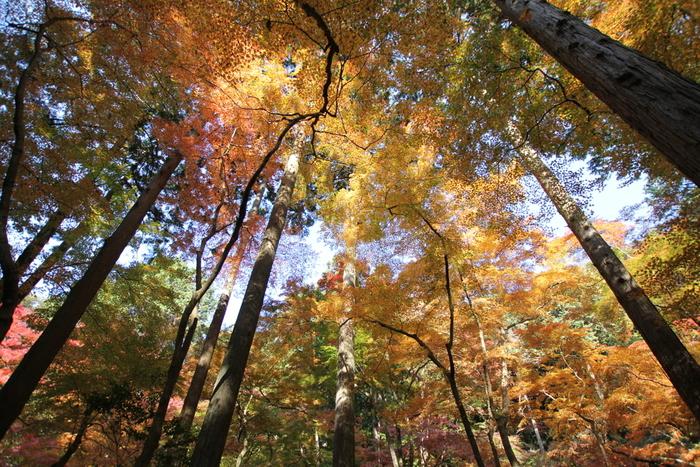豊臣秀吉が「醍醐の花見」を行った桜の名所として知られる醍醐寺の境内には、桜、モミジ、リョウブ、イチョウ、カエデといった様々な落葉樹があり、晩秋には見事な紅葉が見られます。