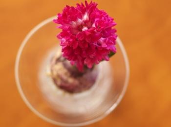 花色がマゼンタなら、球根もマゼンタ。