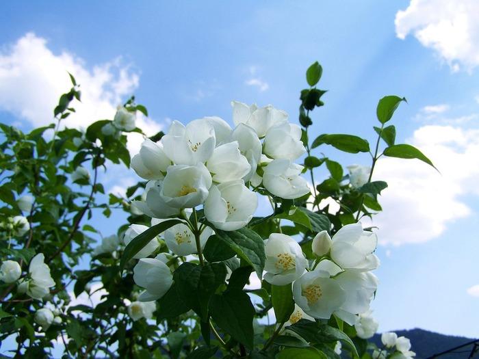 クレオパトラも愛した事で知られ、香りの女王と呼ばれるジャスミン。女性らしい香りで落ち込んだ気持ちの時にも◎。女性の魅力を引き出してくれる香りとも言われています。