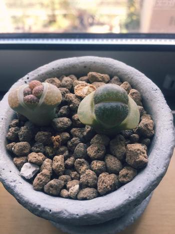 リトープスの大きな特徴は、一年に一度脱皮をして数を増やしていくことです。2月〜4月に脱皮を始めたら水やりを控えめに。古い葉が完全に枯れたら、茎を痛めないように注意しながら取り除きます。  こうした分頭での株分け以外に、花後の種からも増やすことができます。