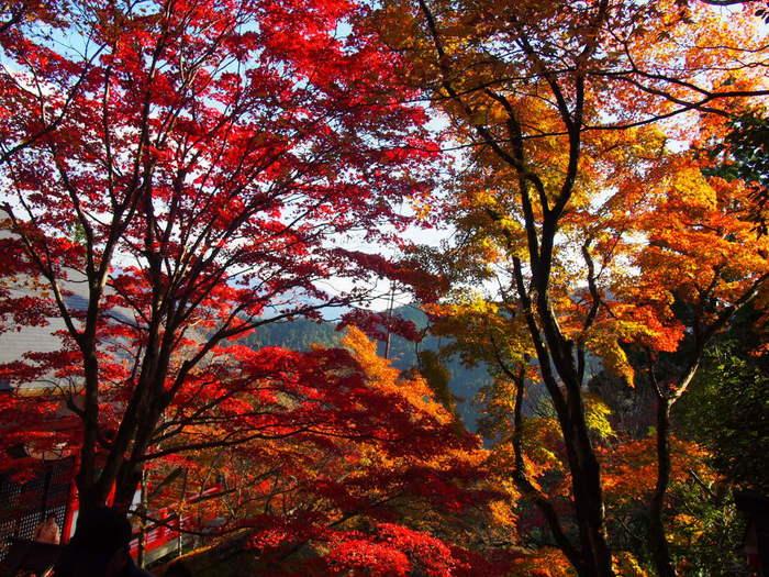 モミジ、楓、桜など様々な落葉樹が彩る鞍馬寺からの眺望は絶景そのものです。紅、朱色、赤、黄色、橙色などカラフルに彩った樹々に包まれた鞍馬寺は、秋そのものが大地に舞い降りているかのようです。この素晴らしい景色を眺めながら、遠い昔、若き牛王丸がこの地でどのような修行をしたのか想いを馳せてみてはいかがでしょうか。