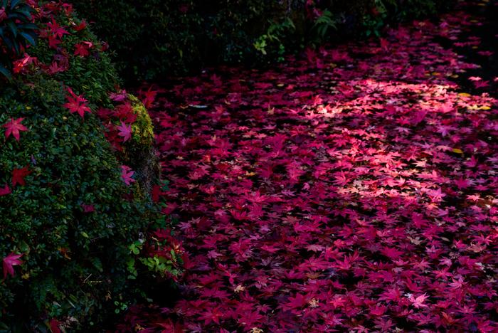 深紅に染まった樹々も、やがて葉が舞い散り、落ち葉として境内を彩ります。錦のような美しさで人々を魅了しても、やがて散りゆく運命にある紅葉は、平家物語で描かれている栄枯盛衰の理を私たちに物語っているかのようです。