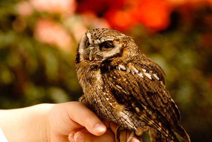 比較的大きな鳥というイメージのフクロウですが、ここでは、指にとまることができるほどの小さいフクロウも数多く飼育されています。
