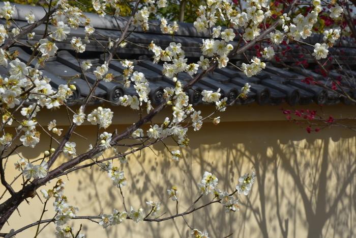 毎年1月下旬から3月上旬は、境内に植林された紅梅、白梅などが競うように咲き誇り、見ごろを迎えます。