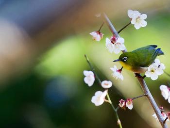 梅が見頃になる時期には、メジロなどの小鳥たちの姿を見かけることができます。あなたもメジロと一緒に梅観賞を楽しんでみませんか。