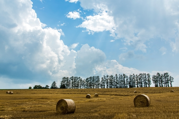 秋になると、美瑛の丘陵地帯は異なる表情を見せてくれます。刈り入れが終わった黄金色の大地に、干し草ロールが点在しており、牧歌的な雰囲気を醸し出しています。