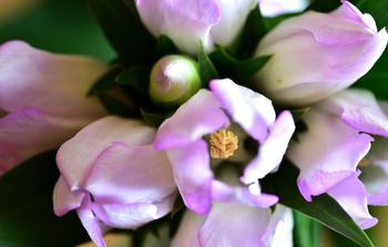 青いリンドウとは打って変わって可憐なイメージ。花言葉もずっと親しみやすい♪「