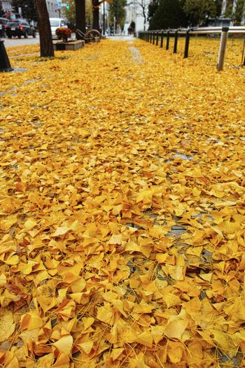 鮮やかに彩った樹々の葉だけでなく、地面にも視線を向けてみましょう。舞い散ったイチョウの葉が地面を覆いつくす様は、まるで大地に黄色い絨毯を敷き詰めたかのようです。