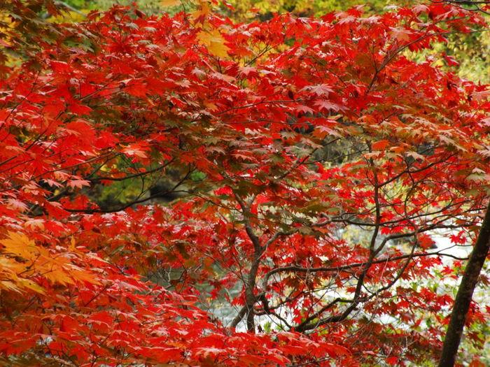 四季折々で美しい景色を見せてくれる定山渓ですが、紅葉シーズンの美しさは格別です。燃え盛る炎のように深紅に染まったもみじは、定山渓の渓谷美を引き立てています。