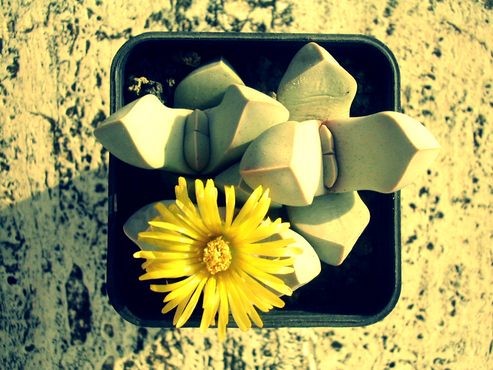 こちらはメセンの「摩玉」という種類。シャープな葉は、色も形もまるで石ころのよう。こちらも菊の花のようなかわいい花が、毎年秋頃に咲きます。