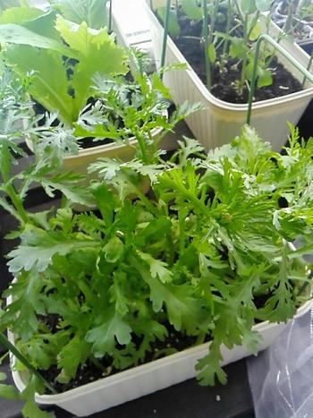 今から作る野菜でおススメなのは、初心者でも育てやすく、プランターで簡単に作れちゃう「葉野菜」です。サラダや彩りにちょっとあると助かりますよね。家庭菜園で育てる葉野菜は、安心の無農薬、摘みたての新鮮さが味わえます♪