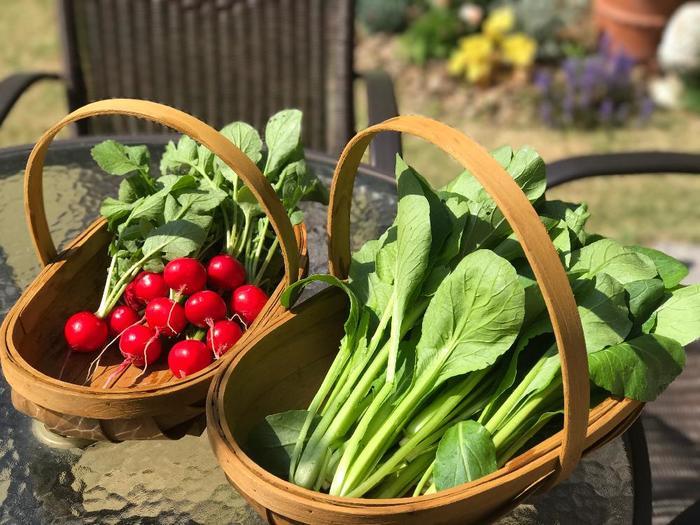 ここではプランターで育てる「小松菜の育て方」と「リーフレタスの寄せ植え」を中心に、簡単に育てられる葉野菜をご紹介します。かわいく仕立てるポイントも紹介しますので、飾って美味しく食べられる葉野菜作り、気軽に始めてみて下さい!