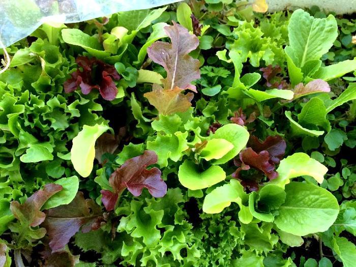 植え付けから1か月ほどで収穫できます。株ごと収穫しても良いのですが、外葉から必要な量だけちぎって収穫すると、次々と新葉が出て来て、長く楽しめます♪