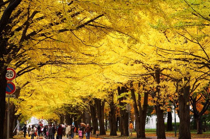 広大な敷地面積を誇る北海道大学構内にあるイチョウ並木は紅葉名所として多くの人々に親しまれています。イチョウ並木は、大学に在籍している学生たち、札幌市民、観光客でいつも賑わっています。