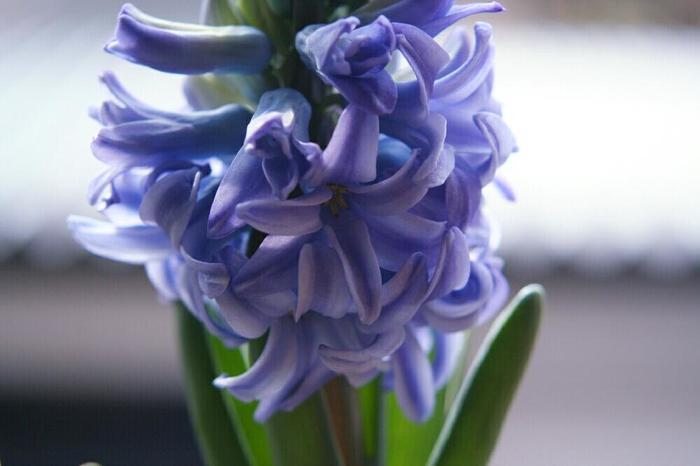 成長過程も楽しもう。今から育てて春を待つ、ヒヤシンスの水栽培