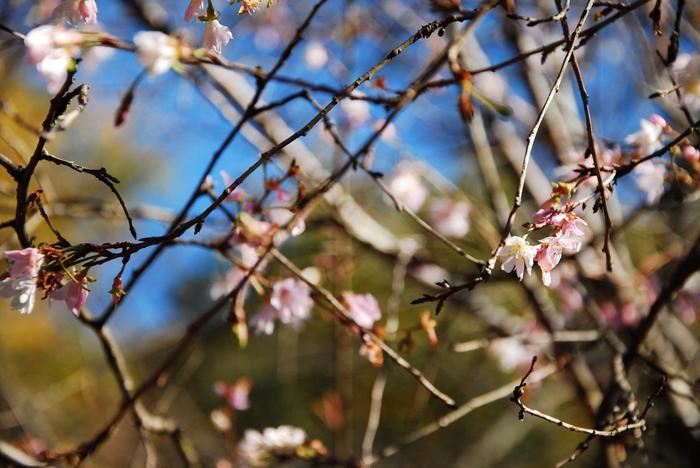 十月桜。花が4月上旬頃と10月頃の年2回開花する桜で、紅葉と共に楽しめます。