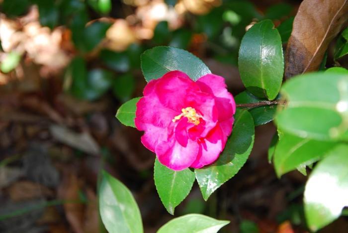 この季節の代表的な花。色鮮やかなさざんかも咲いています。
