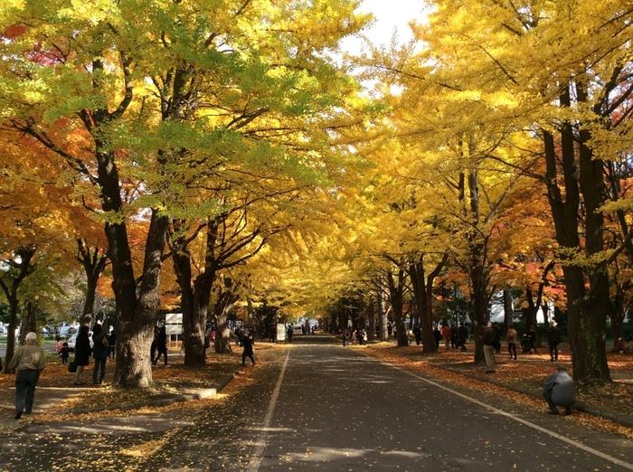 秋になると金色に輝く、北海道大学構内の「イチョウ並木」。札幌市民のみならず、観光客も多く訪れる街中の紅葉スポットです。10月下旬から11月上旬にかけて見頃を迎えますが、この時期に2日間だけ「北大金葉祭」として夜間ライトアップされ、さらに美しさを増します。札幌観光のついでにぜひ見学してみてはいかがでしょうか。