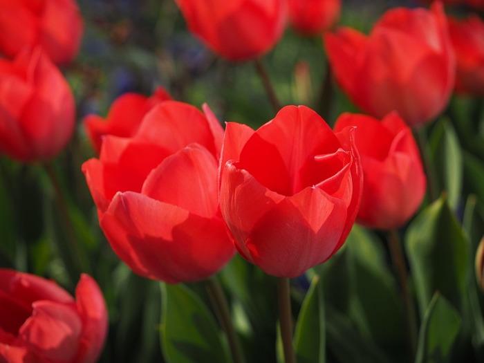 背丈15~60cmなどいろいろな高さの品種があります。3~5月頃に花が咲きます。 八重咲きやユリ咲きの花の形があり、色は赤、紫、黄系など豊冨。