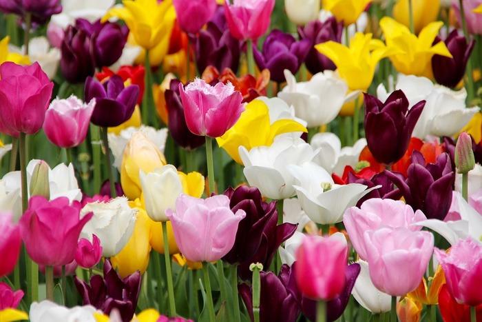 一斉に咲き出すので、いろいろな色を合わせて植えるとこんなにメルヘンチックな花畑になります!