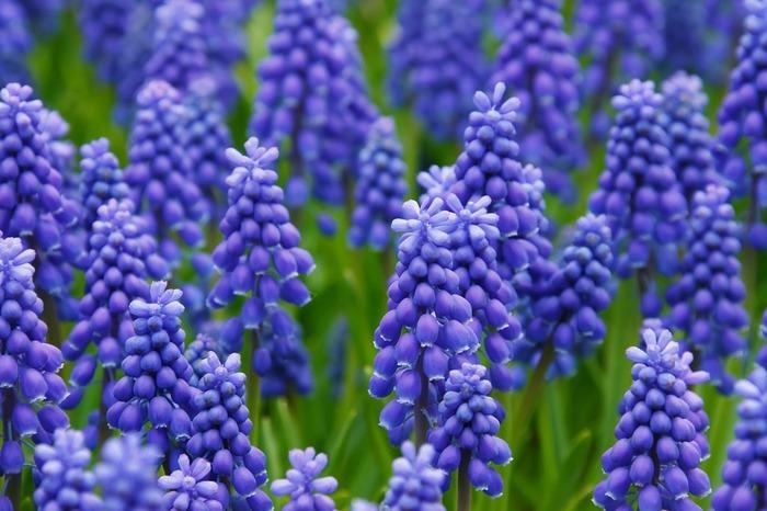 背丈15~20cmになります。3~4月頃に花が咲きます。 小さなベル形の花をたくさん咲かせます。紫や白などの色があり、葉は細長く少し肉厚。
