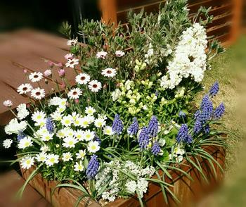 ムスカリ、ストック、ノースポールなどの寄せ植え。背が低いムスカリを手前に植えることで奥行きが出ます。