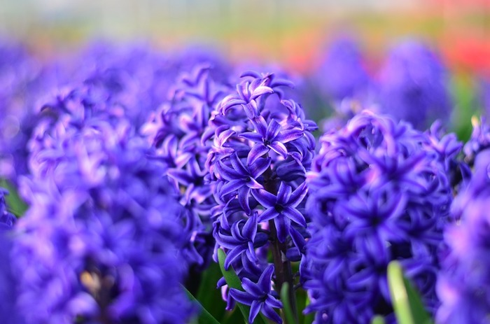 背丈20~30cmになります。3~4月頃に花が咲きます。 青や赤、黄色など花色が豊富で1輪でも豪華です。強い香りがあります。  鉢植えで用いられる品種と、水栽培で用いられる品種があります。