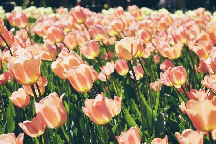 育ててみたいお気に入りの球根はみつかりましたか? 秋に球根を植え付けたら冬にも楽しみがあります。春に美しい花を咲かせるために、土の中でけなげに頑張る球根を想像することです。 秋植え球根を植えて、どんな花が咲くのかわくわくしながら春を待ってみませんか?